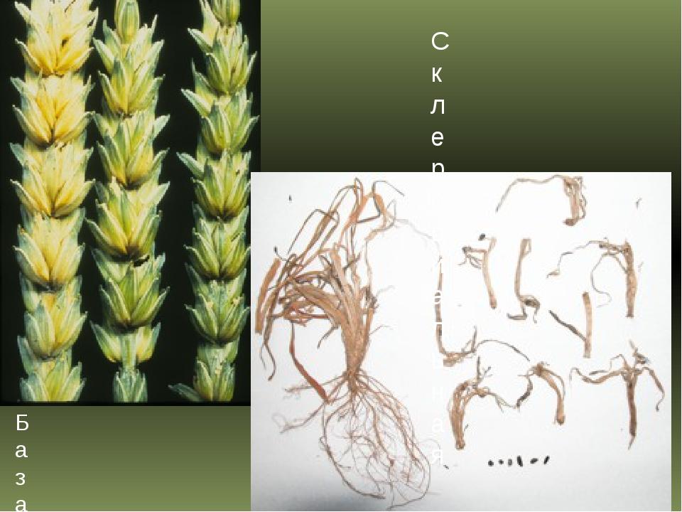 Базальный бактериоз пшеницы Склероциальная гниль, или склеротиниоз пшеницы