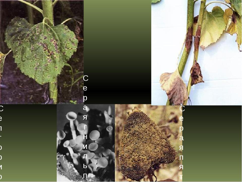 Септориозная пятнистость листьев подсолнечника Серая гниль подсолнечника Сера...