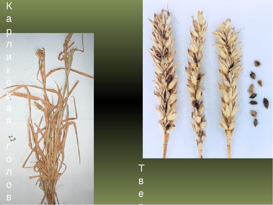 Твердая головня пшеницы Карликовая головня пшеницы