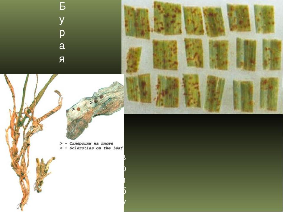 Бурая (листовая) ржавчина ржи возбудитель крапчатой снежной плесени (тифулеза...