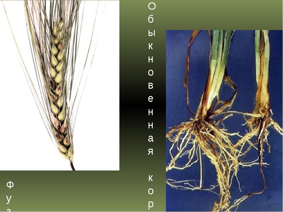 Фузариоз колоса ячменя Обыкновенная корневая гниль ячменя