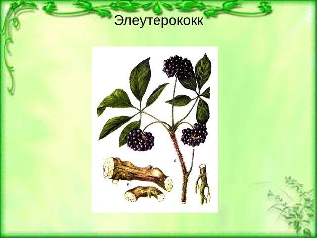 Элеутерококк