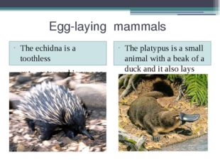 Egg-laying mammals The echidna is a toothless ant – eater and is an egg – la