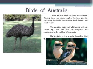 Birds of Australia There are 800 kinds of birds in Australia. Among them are