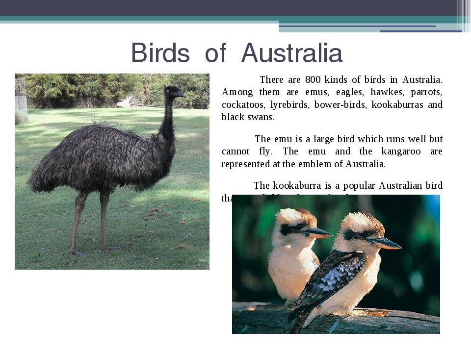 Birds of Australia There are 800 kinds of birds in Australia. Among them are...