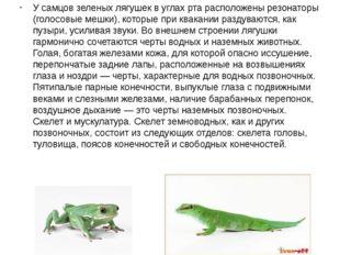 У самцов зеленых лягушек в углах рта расположены резонаторы (голосовые мешки)