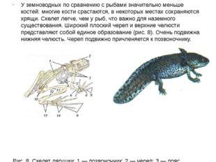 У земноводных по сравнению с рыбами значительно меньше костей: многие кости с