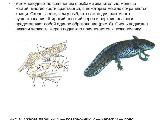 У земноводных по сравнению с рыбами значительно меньше костей: многие кости с...