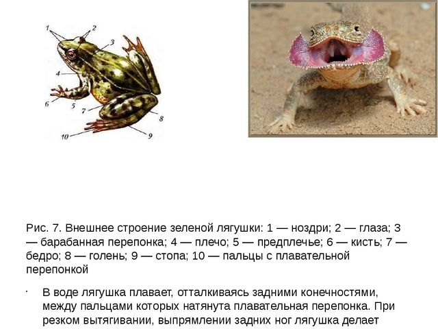 Рис. 7. Внешнее строение зеленой лягушки: 1 — ноздри; 2 — глаза; 3 — барабан...
