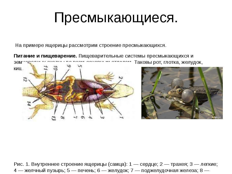 Пресмыкающиеся. На примере ящерицы рассмотрим строение пресмыкающихся. Питани...