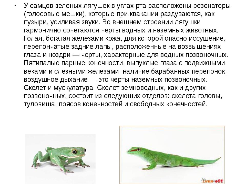У самцов зеленых лягушек в углах рта расположены резонаторы (голосовые мешки)...