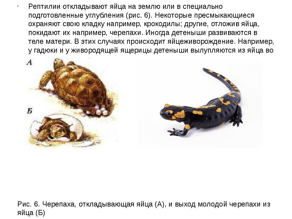 Рептилии откладывают яйца на землю или в специально подготовленные углубления...