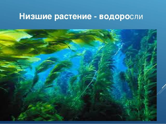 Низшие растение - водоросли