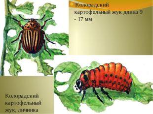 Колорадский картофельный жук длина 9 - 17 мм Колорадский картофельный жук, ли