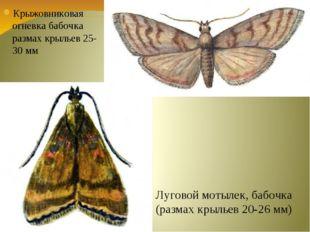 Крыжовниковая огневка бабочка размах крыльев 25-30 мм Луговой мотылек, бабочк