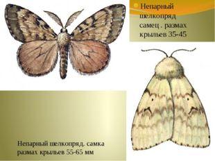 Непарный шелкопряд самец . размах крыльев 35-45 мм Непарный шелкопряд. самка