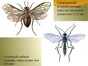 Смородинный ягодный пильщик. взрослое насекомое длина тела 3-3,5 мм Стеблевой