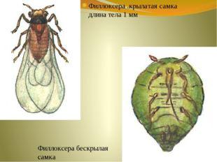 Филлоксера .крылатая самка длина тела 1 мм Филлоксера бескрылая самка
