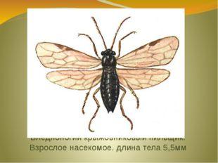 Бледноногий крыжовниковый пильщик. Взрослое насекомое. длина тела 5,5мм
