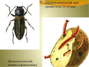 Щелкун полосатый, жук (длина тела 7,5-10 мм) Щелкун полосатый, личинка (прово