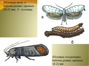 Яблонная моль: а - бабочка размах крыльев 20-22 мм; б - гусеница Яблонная пло