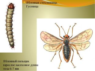 Яблонная стеклянница. Гусеница Яблонный пильщик взрослое насекомое длина тела