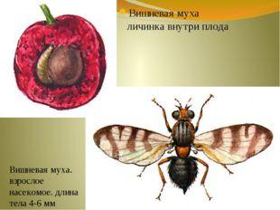 Вишневая муха личинка внутри плода Вишневая муха. взрослое насекомое. длина т