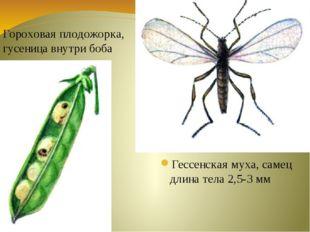 Гессенская муха, самец длина тела 2,5-3 мм Гороховая плодожорка, гусеница вну