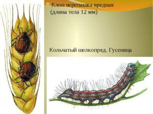 Клоп черепашка вредная (длина тела 12 мм) Кольчатый шелкопряд. Гусеница