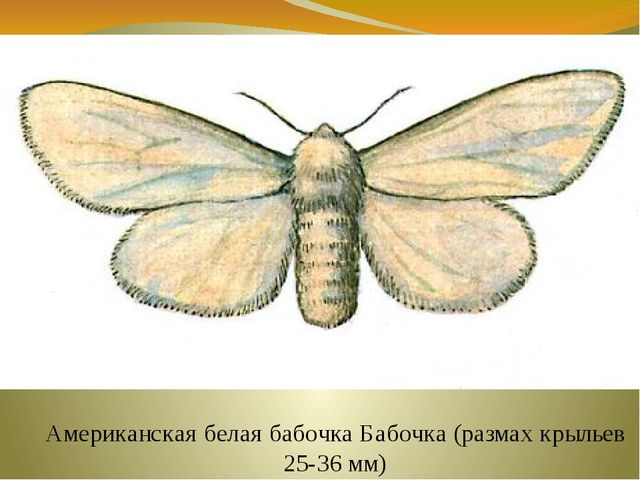 Американская белая бабочка Бабочка (размах крыльев 25-36 мм)