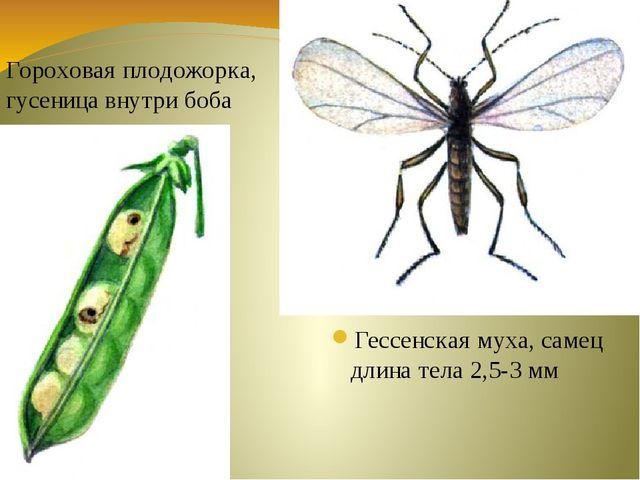 Гессенская муха, самец длина тела 2,5-3 мм Гороховая плодожорка, гусеница вну...