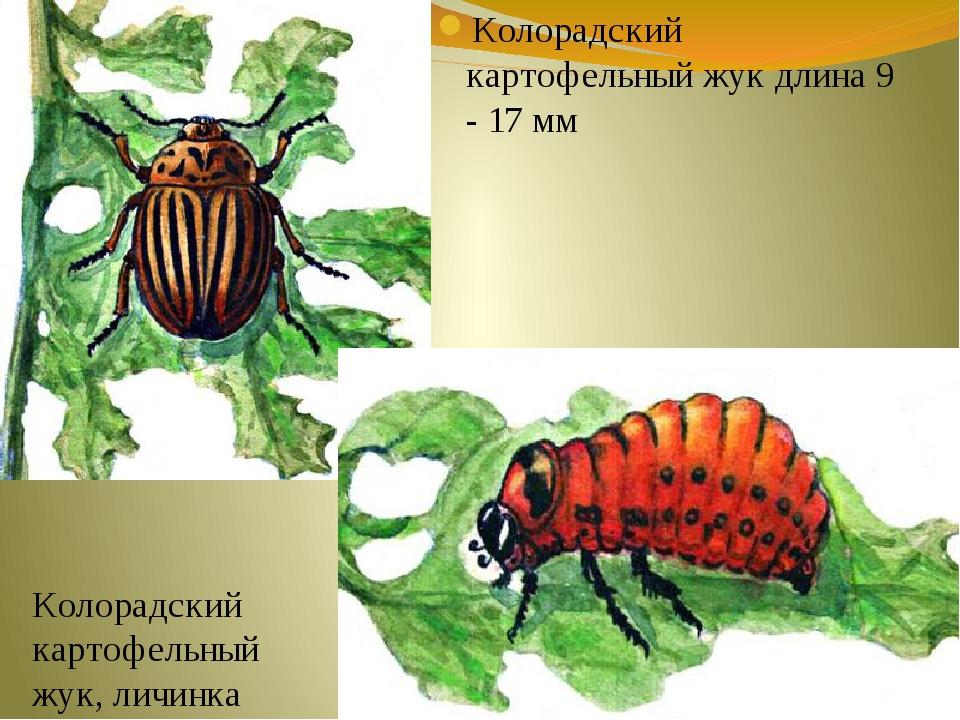 Колорадский картофельный жук длина 9 - 17 мм Колорадский картофельный жук, ли...