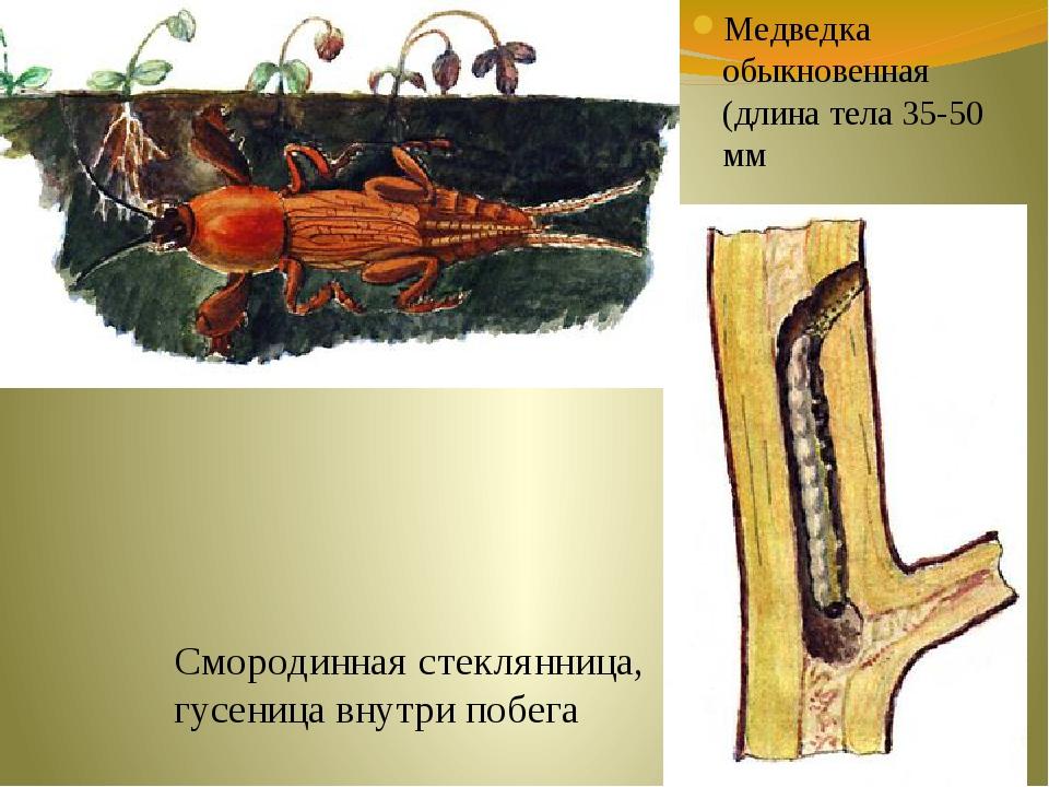 Медведка обыкновенная (длина тела 35-50 мм Смородинная стеклянница, гусеница...