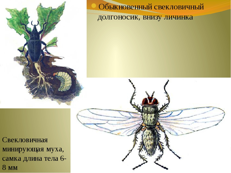 Обыкновенный свекловичный долгоносик, внизу личинка Свекловичная минирующая м...
