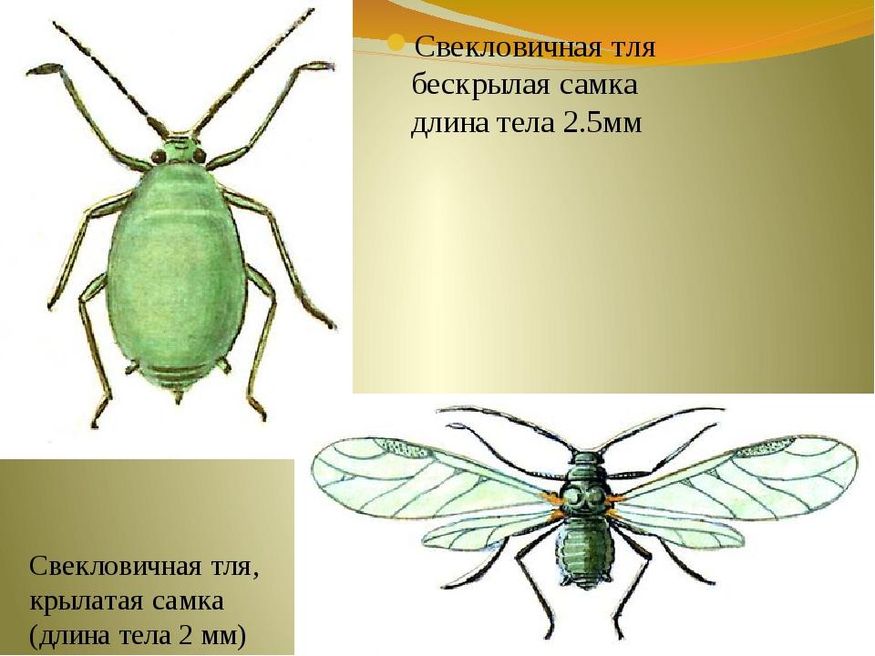 Свекловичная тля бескрылая самка длина тела 2.5мм Свекловичная тля, крылатая...