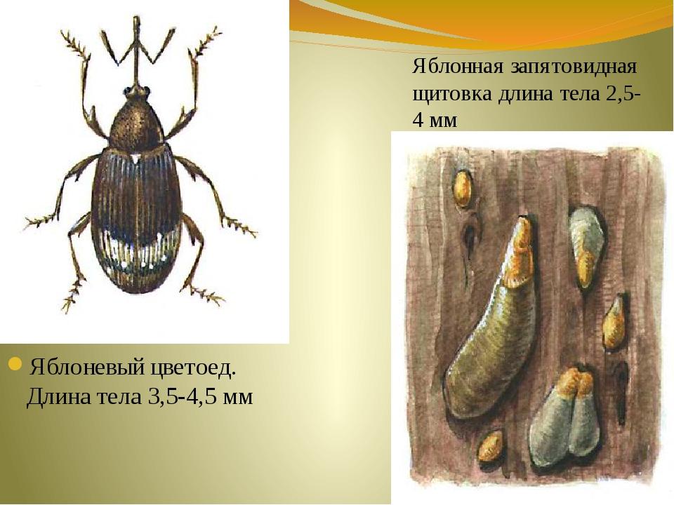 Яблоневый цветоед. Длина тела 3,5-4,5 мм Яблонная запятовидная щитовка длина...