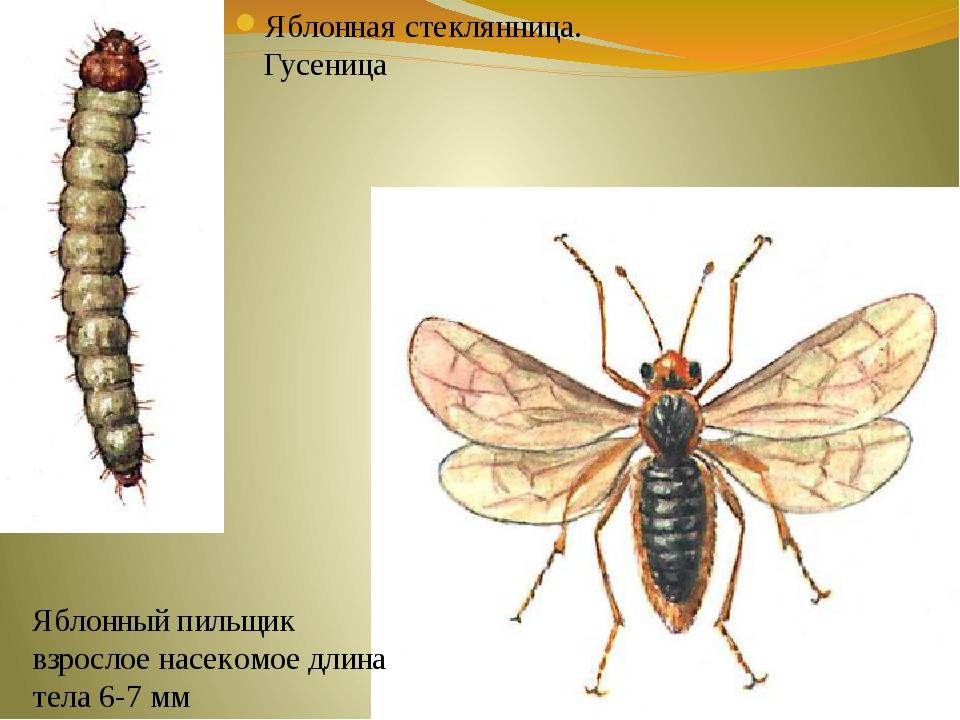 Яблонная стеклянница. Гусеница Яблонный пильщик взрослое насекомое длина тела...