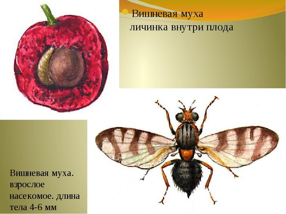 Вишневая муха личинка внутри плода Вишневая муха. взрослое насекомое. длина т...