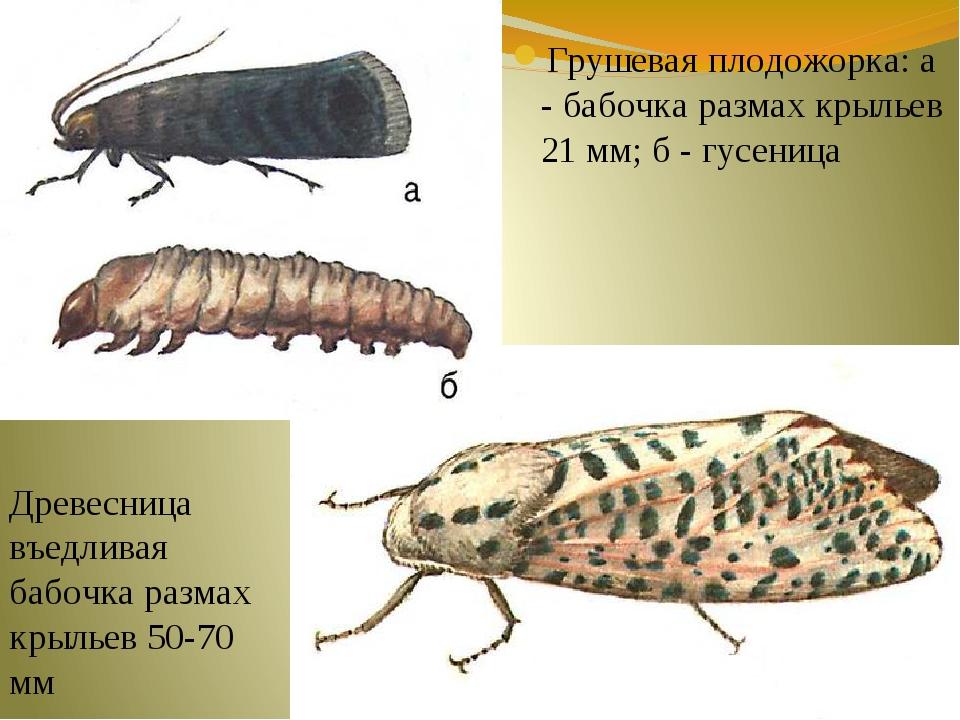 Грушевая плодожорка: а - бабочка размах крыльев 21 мм; б - гусеница Древесниц...