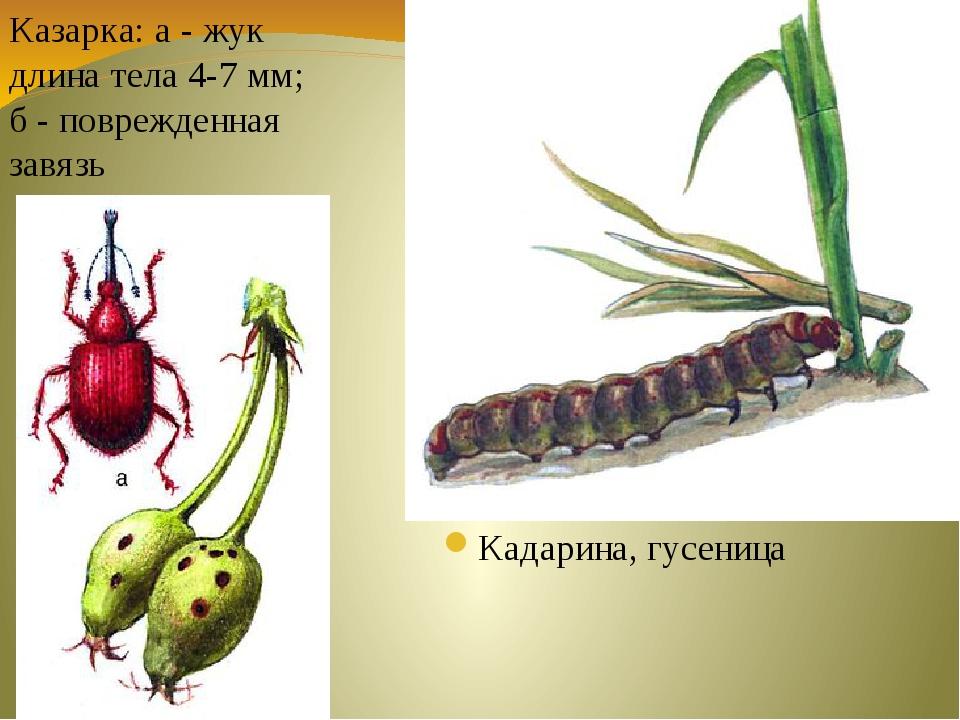 Кадарина, гусеница Казарка: а - жук длина тела 4-7 мм; б - поврежденная завязь