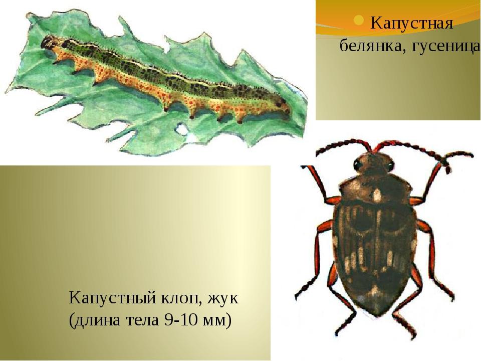 Капустная белянка, гусеница Капустный клоп, жук (длина тела 9-10 мм)