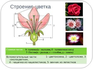 Строение цветка 6- тычинка(а - пыльник, б - тычиночная нить) 7- Пестик(в – ры