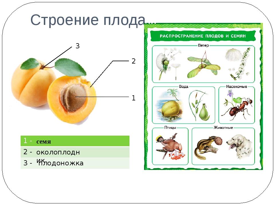 Строение плода 2 1 3 семя околоплодник плодоножка 1 - 2 - 3 -