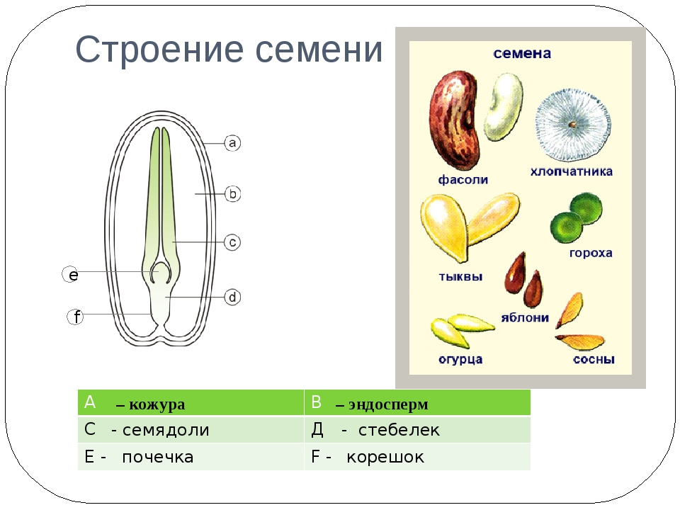Строение семени – кожура – эндосперм - семядоли - стебелек e f почечка корешо...