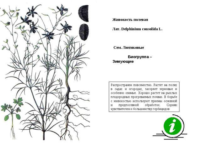 Распространен повсеместно. Растет на полях в садах и огородах, засоряет зерно...