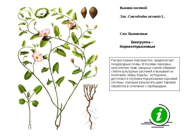 Распространен повсеместно, предпочитает плодородные почвы. В посевах зерновых...
