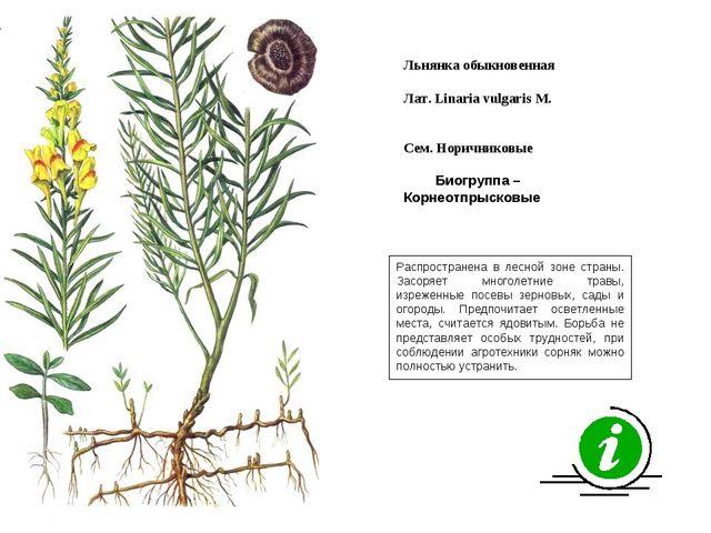 Распространена в лесной зоне страны. Засоряет многолетние травы, изреженные п...