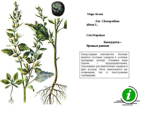 Распространен повсеместно. Растение является злостным сорняком и особенно про...
