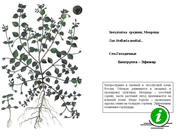 Распространен в таежной и лесолуговой зонах России. Обильно развивается в ово...
