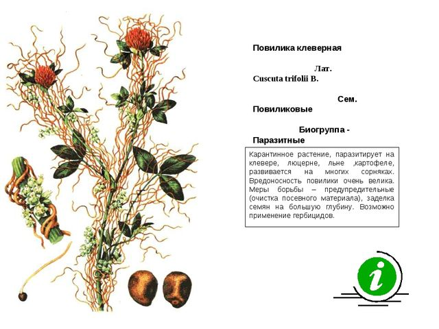 Карантинное растение, паразитирует на клевере, люцерне, льне ,картофеле, разв...
